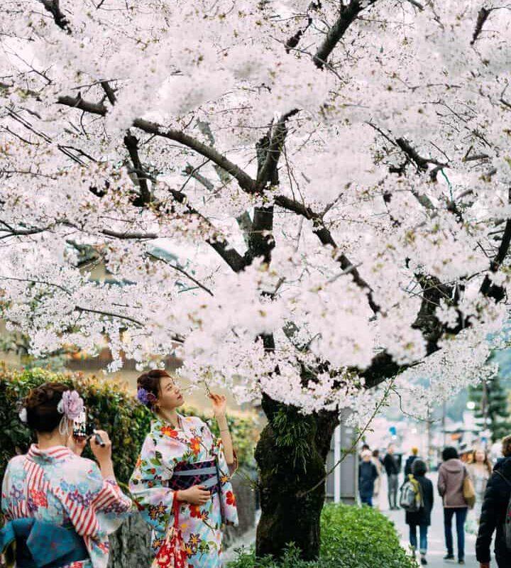 Japan cherry blosom