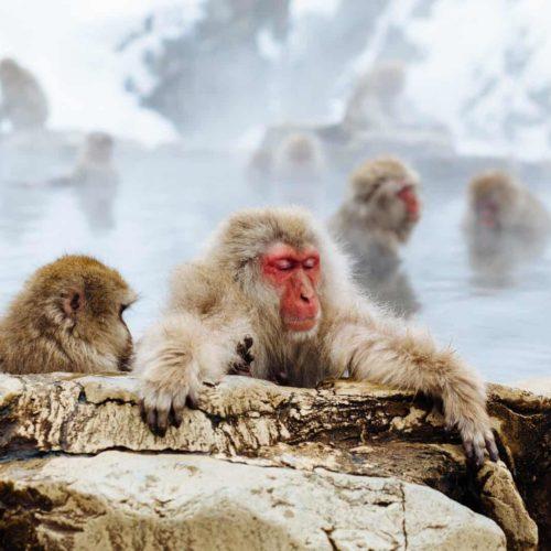 Monkeys in spring Niseko property for sale 1